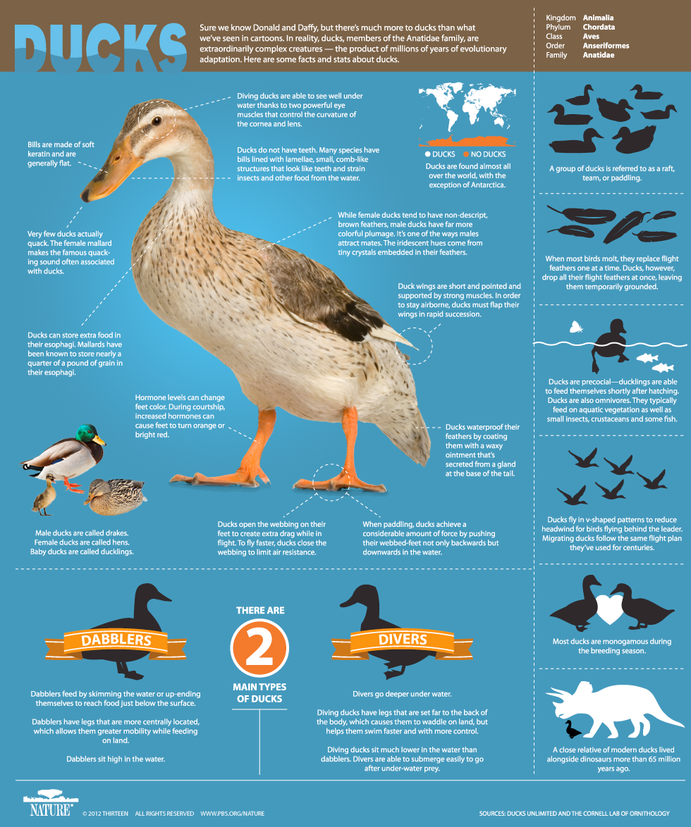 Facts about Ducks-Infographic